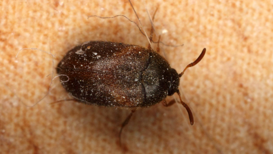Bed Bug Imposters How To Identify Bed Bugs